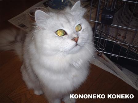 この猫仔猫-バニラ01-