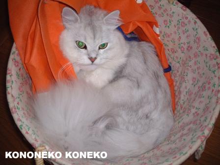 この猫仔猫-バニラ07-