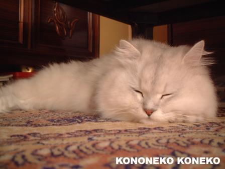 この猫仔猫-バニラ11-