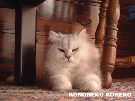 この猫仔猫-バニラ12-