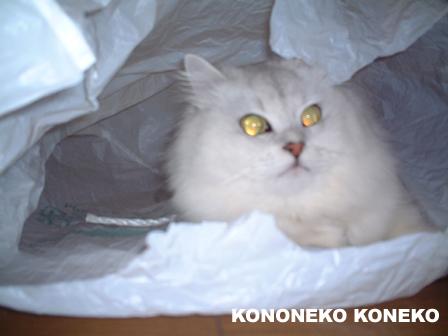 この猫仔猫-バニラ16-