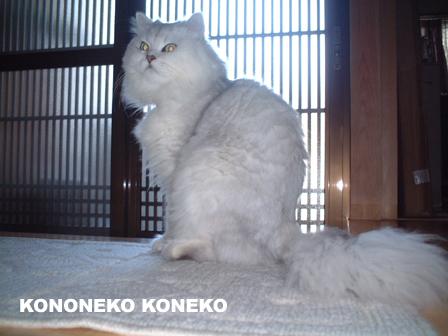 この猫仔猫-バニラ17-