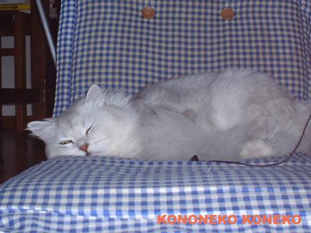 この猫仔猫-バニラ20-