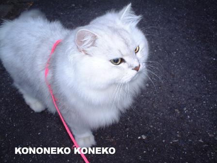 この猫仔猫-バニラ24-