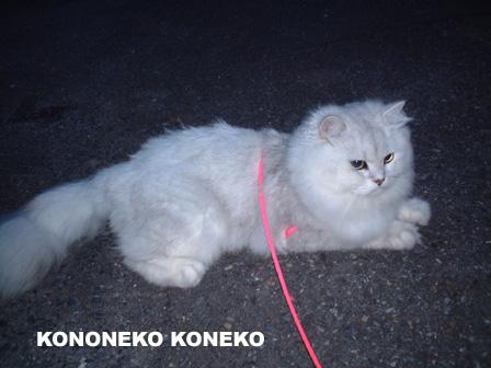 この猫仔猫-バニラ27-