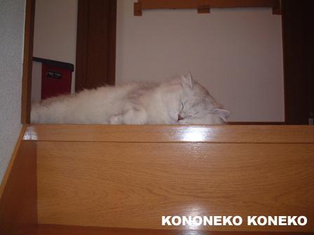 この猫仔猫-バニラ30-