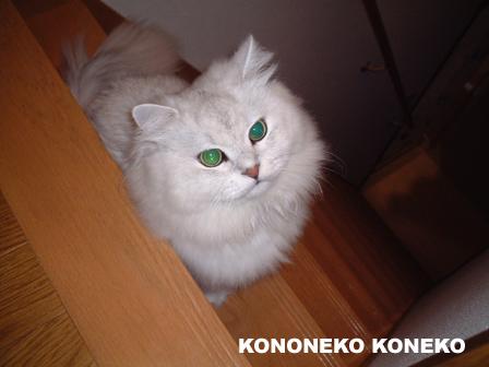 この猫仔猫-バニラ31-