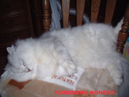 この猫仔猫-バニラ35-