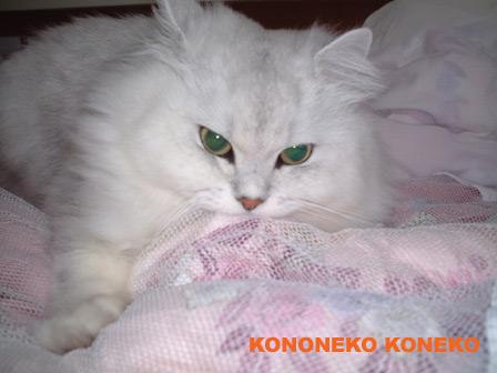 この猫仔猫-バニラ46-