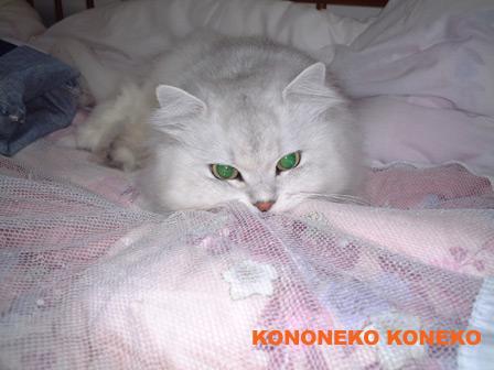 この猫仔猫-バニラ47-