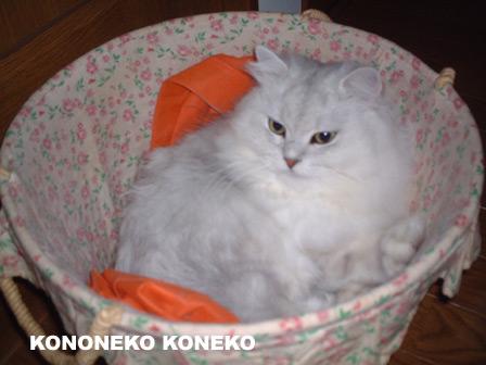 この猫仔猫-バニラ51-