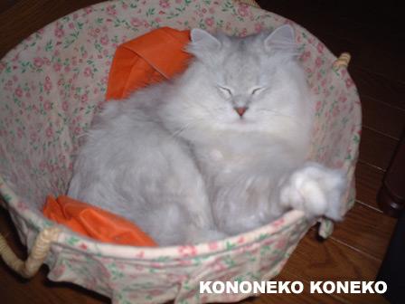 この猫仔猫-バニラ50-