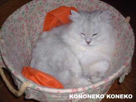 この猫仔猫-バニラ49-