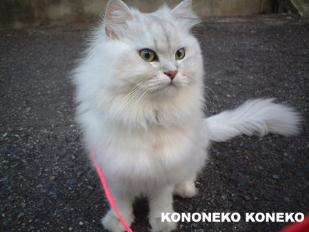 この猫仔猫-バニラ56-