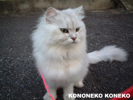 この猫仔猫-バニラ57-