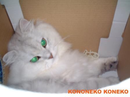 この猫仔猫-バニラ67-