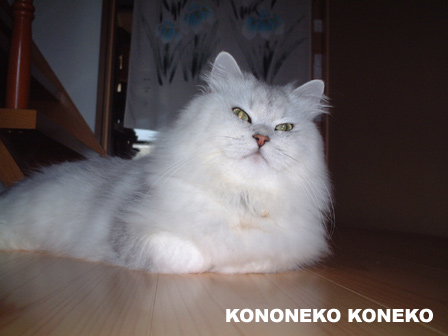 この猫仔猫-バニラ72-