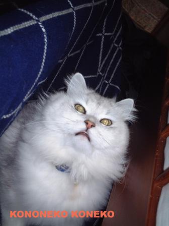この猫仔猫-バニラ90-