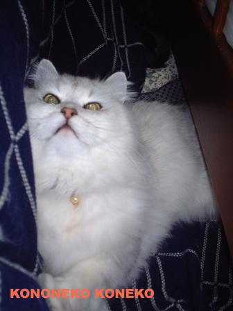 この猫仔猫-バニラ91-