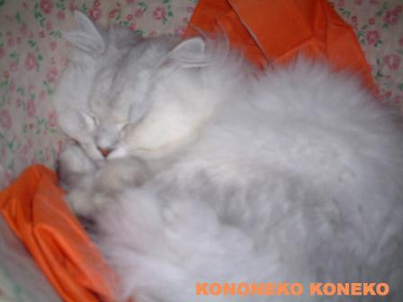 この猫仔猫-バニラ95-