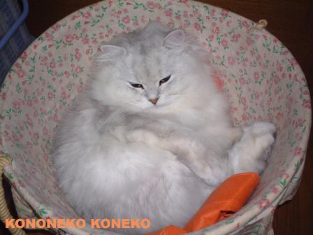 この猫仔猫-バニラ101-