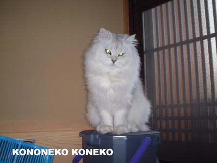 この猫仔猫-バニラ103-