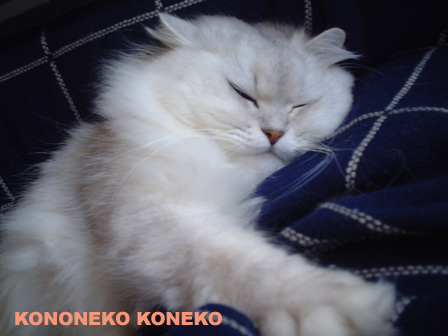 この猫仔猫-バニラ110-