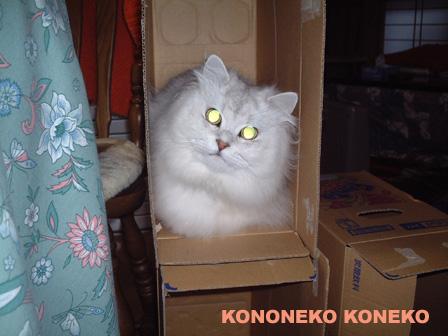 この猫仔猫-バニラ114-