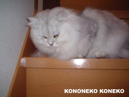 この猫仔猫-バニラ115-