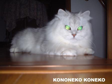 この猫仔猫-バニラ124-
