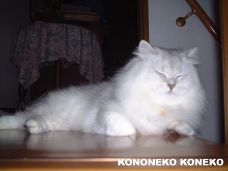 この猫仔猫-バニラ125-