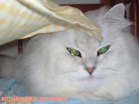 この猫仔猫-バニラ127-