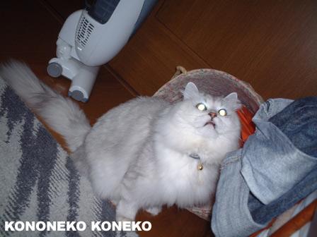 この猫仔猫-バニラ134-