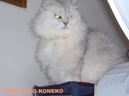 この猫仔猫-バニラ129-