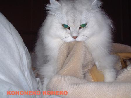 この猫仔猫-バニラ140-