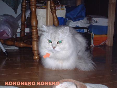この猫仔猫-バニラ149-