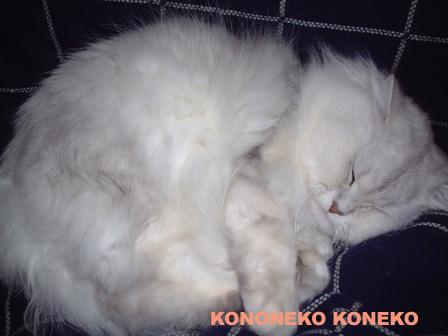 この猫仔猫-バニラ153-