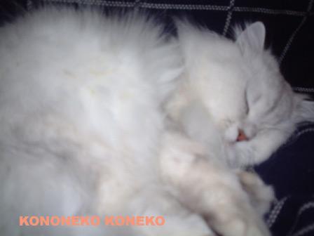 この猫仔猫-バニラ152-