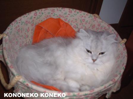 この猫仔猫-バニラ161-