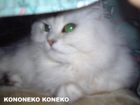 この猫仔猫-バニラ162-