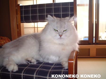 この猫仔猫-バニラ163-