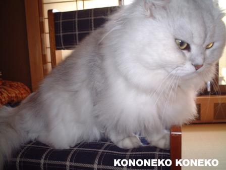 この猫仔猫-バニラ164-