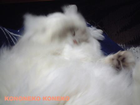 この猫仔猫-バニラ182-