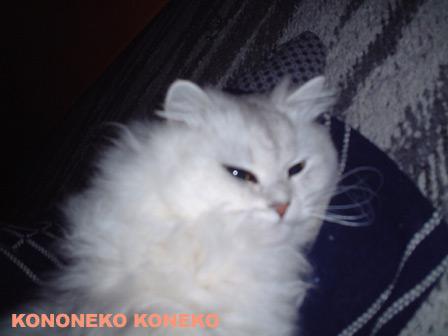 この猫仔猫-バニラ184-