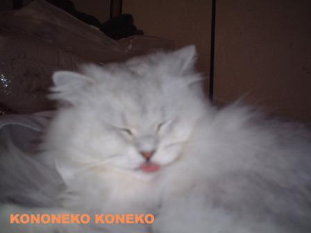 この猫仔猫-バニラ194-