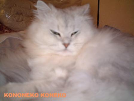 この猫仔猫-バニラ198-