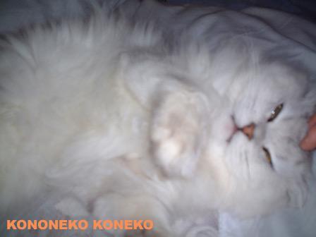 この猫仔猫-バニラ200-