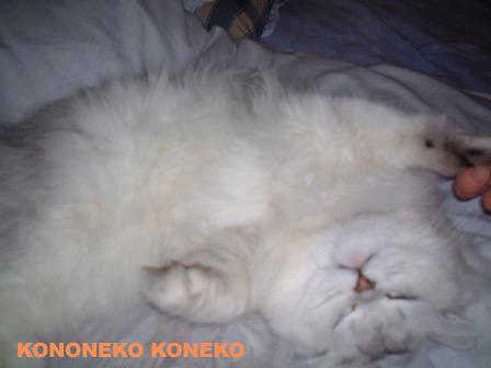 この猫仔猫-バニラ201-