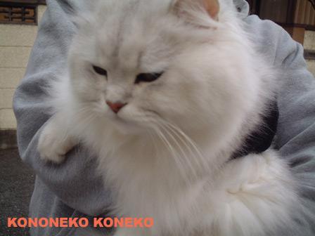 この猫仔猫-バニラ213-