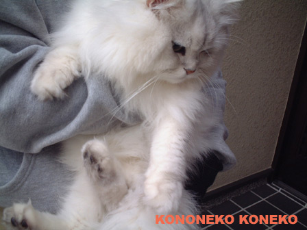 この猫仔猫-バニラ212-